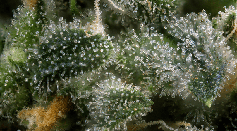 CBD Terpenes The Ultimate Guide